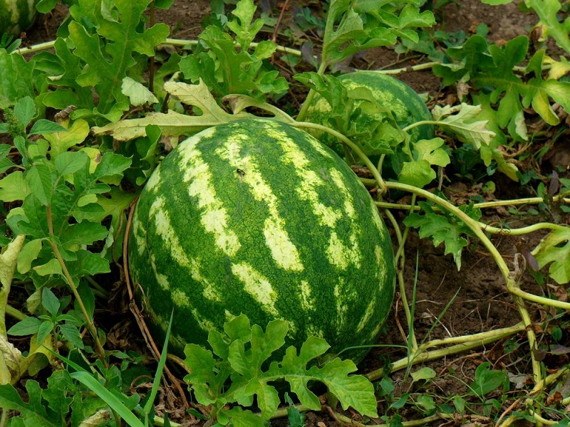 watermelon plantation