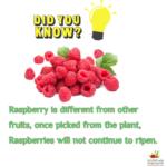 RED RASPBERRY LEAF TEA BENEFITS- HOW TO MAKE RASPBERRY LEAF TEA