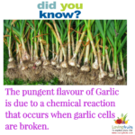 If you ever wondered is garlic a vegetable or a fruit?